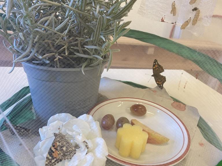 Schmetterlinge im zweiten Jahrgang